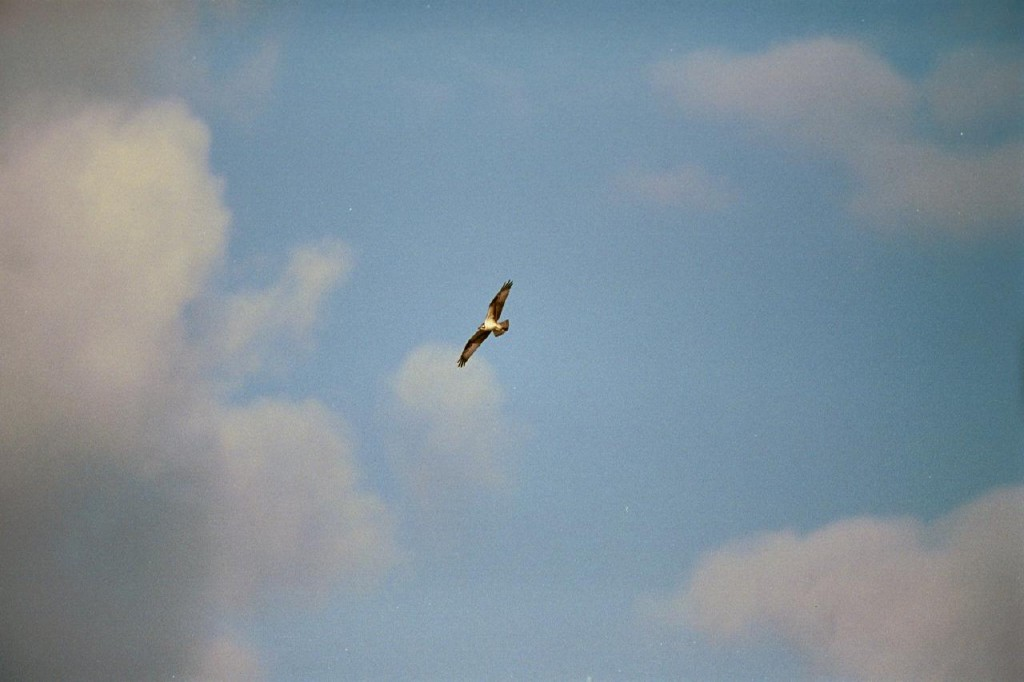 2002-NJ-Osprey1