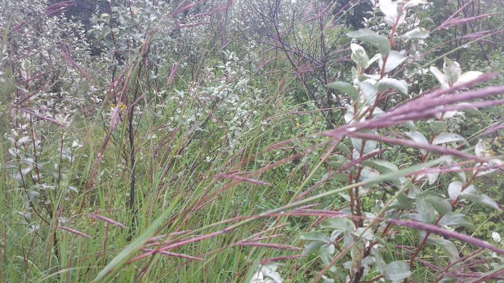 Big Bluestem grass with wolf willow
