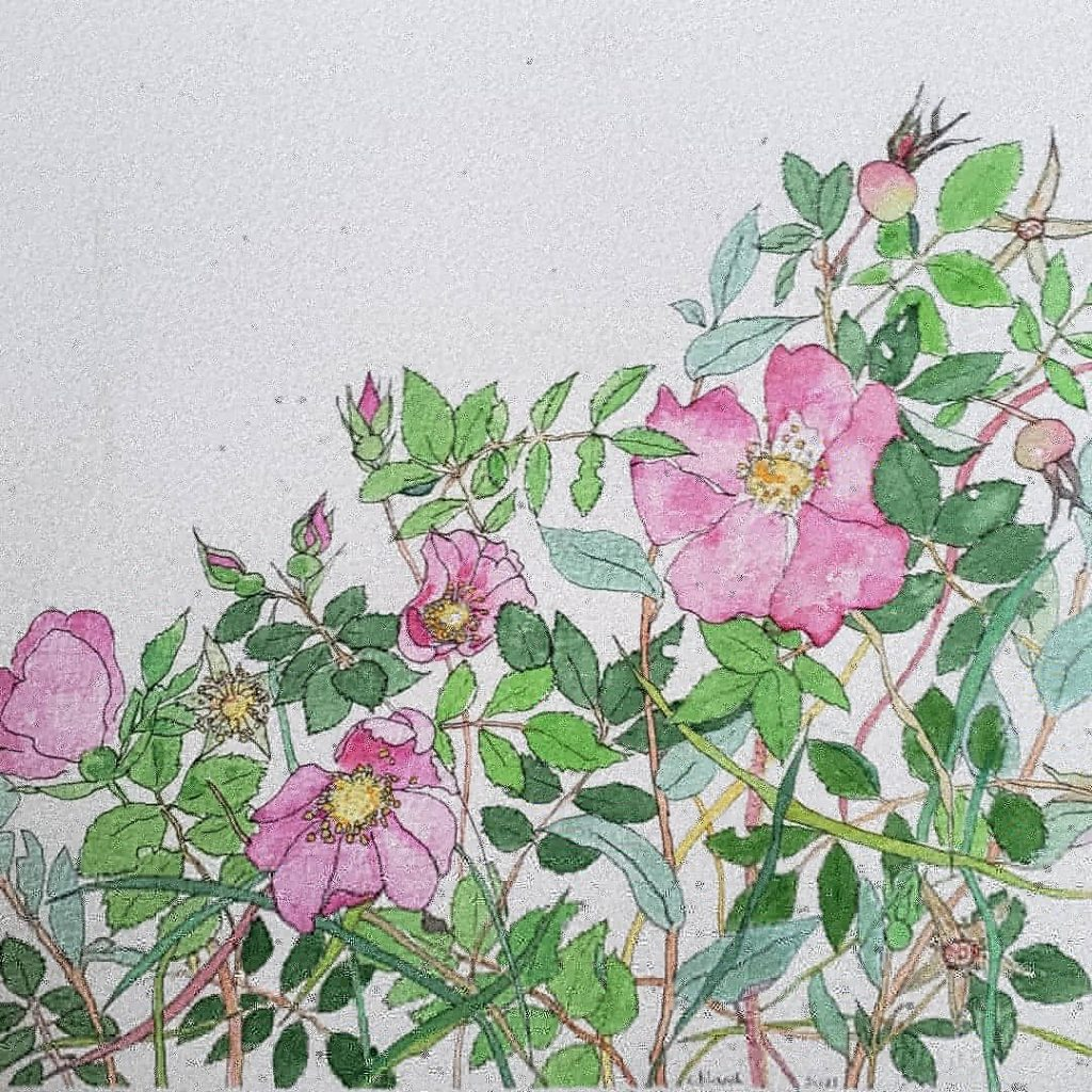 Watercolour of wild roses